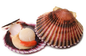 Scallop Middle